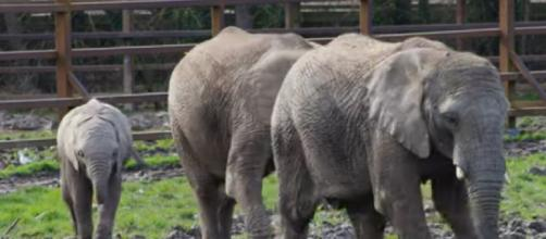 African Elephants at Howletts Wildlife Park (Image source: R. W. Wildlife/YouTube)
