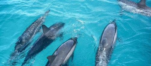 Homem é salvo por grupo de golfinhos (arquivo blastingnews)