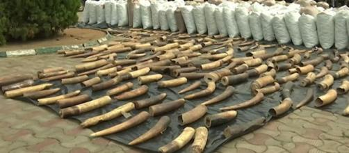 Customs intercepts N22.3 billion in pangolin scales and elephant tusks (Image source: TVC News Nigeria/YouTube)