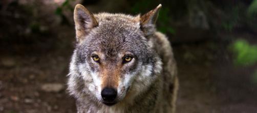 El lobo ha sido incluido en el Listado de Especies en Régimen de Protección Especial y a partir de hoy está prohibida su caza - Pixabay