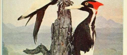 An illustration of a pair of ivory-billed woodpeckers (Image source: Biodiversity Heritage Library/Flickr)