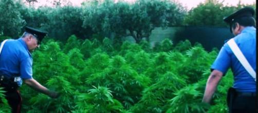 Sardegna, sequestrate 30mila piante di marijuana: 8 arresti, 25 persone indagate.