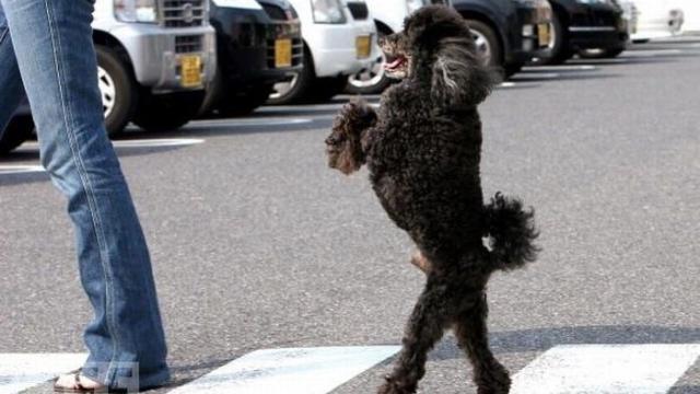 A triste história por trás dos cachorros que andam como seres humanos