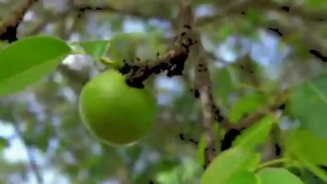 El manzanillo de la muerte  es el árbol más peligroso del mundo