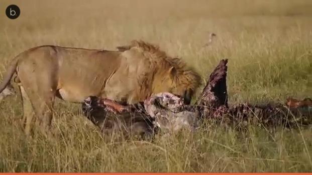 Un león convive con una pareja de Olot