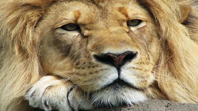 Dois leões machos são flagrados em 'cenas suspeitas' ao lado de uma leoa