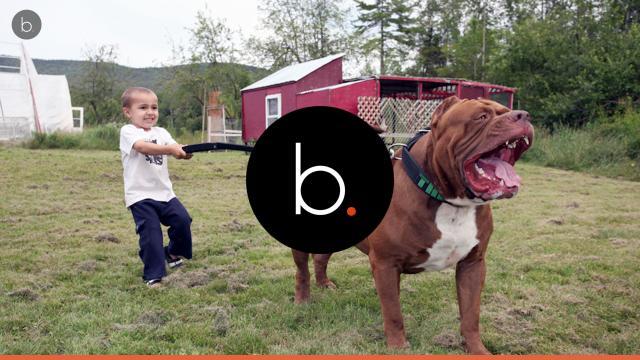 O maior cachorro do mundo é um pit bull e se chama Hulk