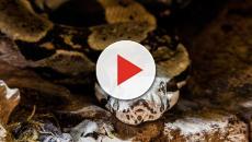 Indonesian man survives battle with monster snake