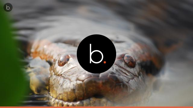 4 Longest Snakes Titanoboa, Reticulated python Amethystine python Green Anaconda