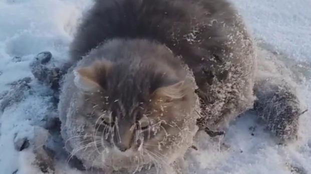 Reveja a incrível história do gatinho que estava congelado e sobreviveu