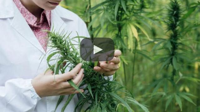 ¿Será la marihuana un remedio alternativo medicinal?