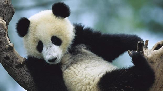 Le bébé panda du zoo de Beauval fait sursauter sa marraine Brigitte Macron