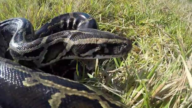 Un python de 5 mètres capturé aux Etats-Unis