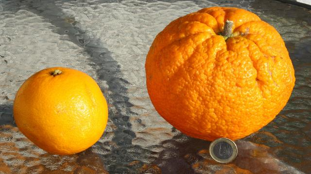 ¿Sabes de donde proviene el nombre de la fruta naranja?