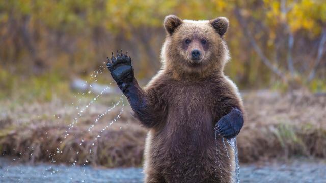 La basura del Himalaya conduce a cambios de hábito de oso pardo