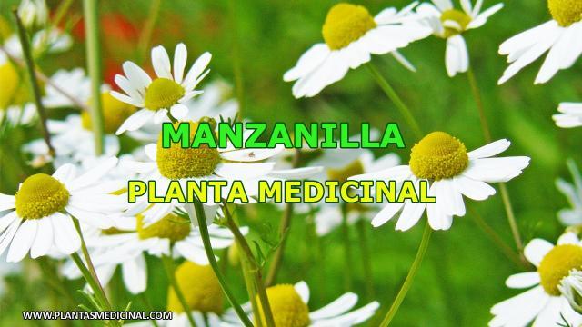La manzanilla y sus importantes usos