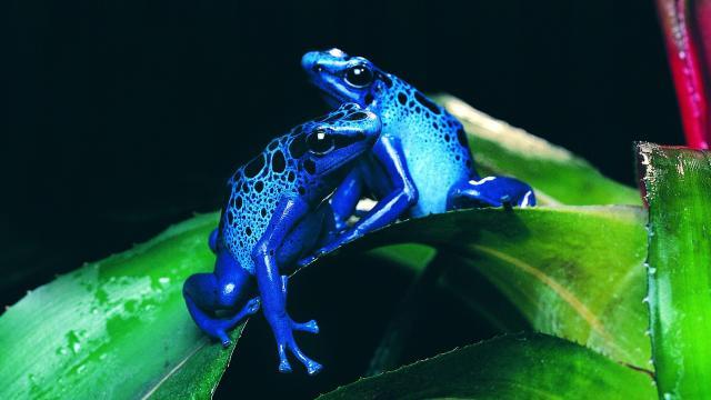 Las ranas revelan un mecanismo que determina la viabilidad de los híbridos