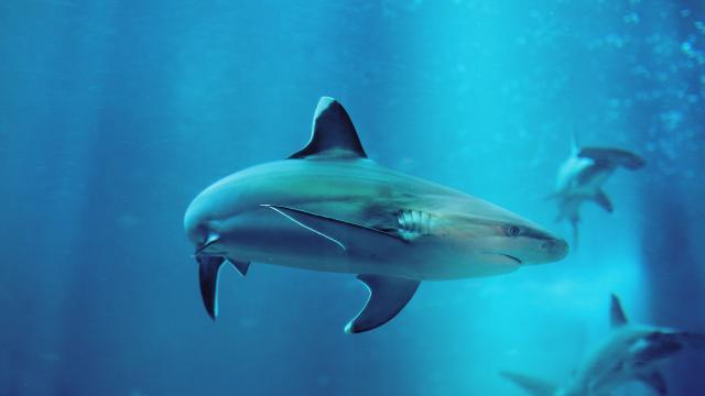 Tiburón alienígena con mandíbulas tipo duende recogidas del mar profundo