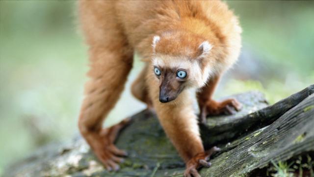 Nueva especie de lémur encontrada en Madagascar