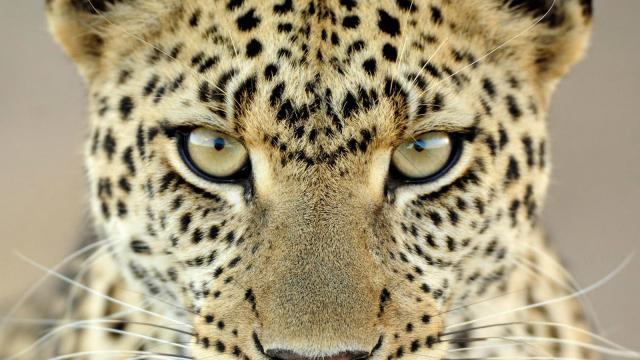 Moquillo canino confirmado en el leopardo del lejano Oriente