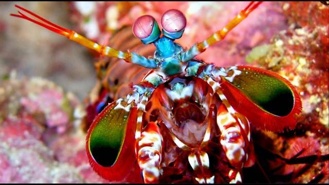 Los camarones mantis se miran entre sí antes de renunciar a una pelea