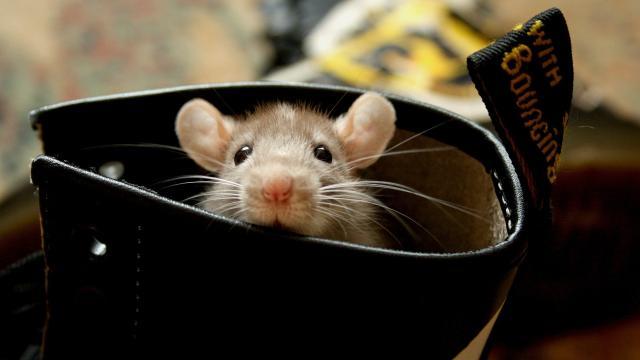 Puede que las ratas no tengan la culpa de propagar la 'Muerte Negra'