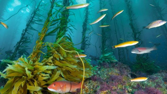 El aumento del aplastamiento de los céspedes de los bosques de algas marinas