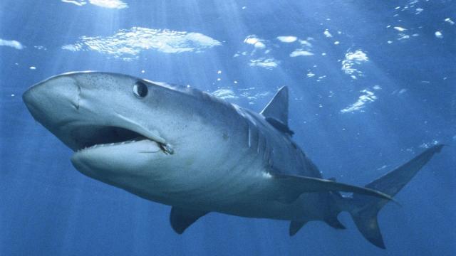 Los tiburones oceánicos costeros tienen diferentes patrones de alimentación