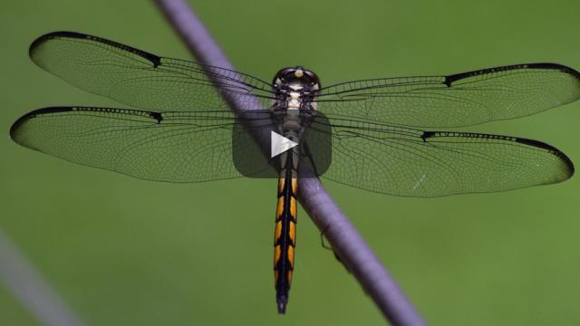 ¡Una pista mas para en el misterio sobre el origen de las alas de los insectos!
