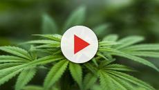VA Sec. Shulkin: Veterans Administration can study Marijuana, but it can't