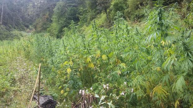 Cannabis : Une amende pour alléger les sanctions