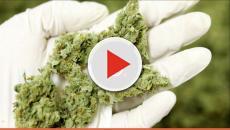 Légalisation du cannabis en Californie: le BCC recrute !