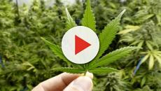 Sardegna: proposto referendum per legalizzare la cannabis