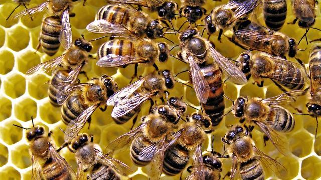 Todas las colonias de abejas melíferas más grandes tienen peines más silenciosos