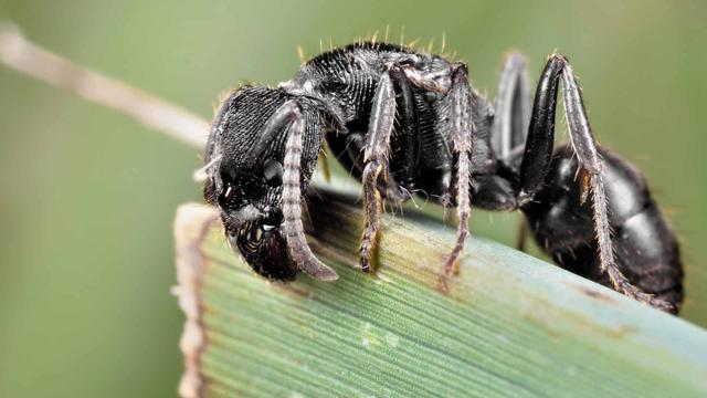 Para la invasión global, las hormigas argentinas usan armas químicas