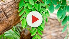 VIDEO: La Moringa, una interesante solución para combatir la desnutrición