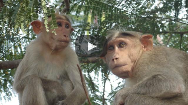 Estos lindos clones de mono podrían ser la clave para una mejor medicina humana
