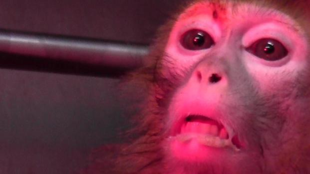 Uomini e scimmie usati come cavie