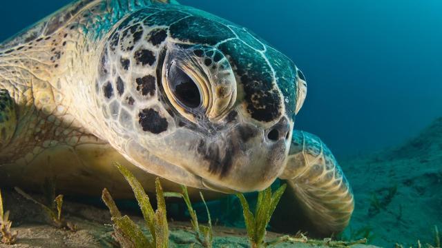 Nuevas tecnologías revelan información clave sobre las tortugas marinas verdes
