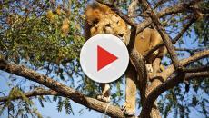 Assista: Leão é filmado ao vivo subindo em árvore para um lanche rápido