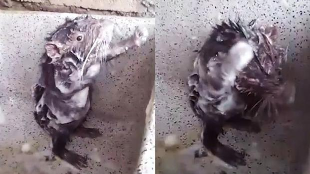 Video virali: il topo che si lava