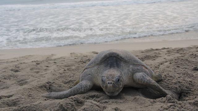 Una hembra de tortuga golfina quedó atrapada en una bolsa de plástico en Odisha
