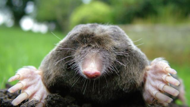 Extraño: las ratas topo desnudas no mueren de vejez