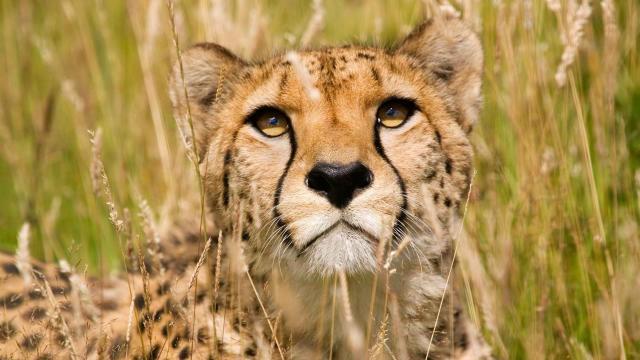 El oído interno de los guepardos es único, vital para la caza de alta velocidad