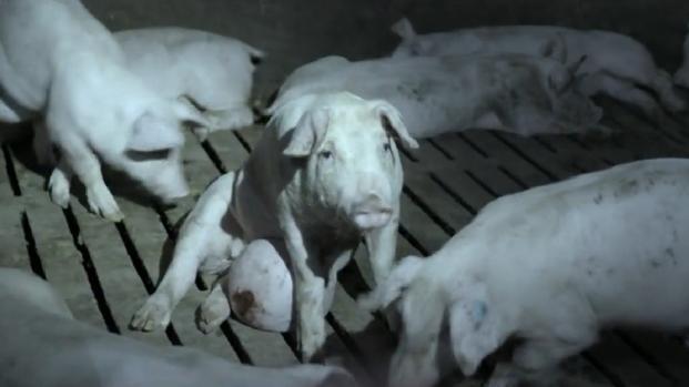 El programa de Salvados Stranger Pigs sobre la industria de la carne