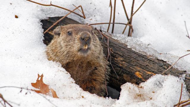 Día de la marmota 2018: ¿Punxsutawney Phil vio su sombra?
