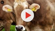 Assista: Idoso molestador de vacas é banido de visitar todas as fazendas