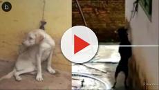 Assista: Cão fica semanas 'sem se mexer' em janela para não morrer enforcado