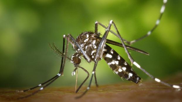 In arrivo la zanzara killer portatrice di febbre gialla