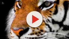 Assista: Guatemala: homem que cuidava de tigres é atacado